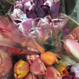 Тюльпани грунтові