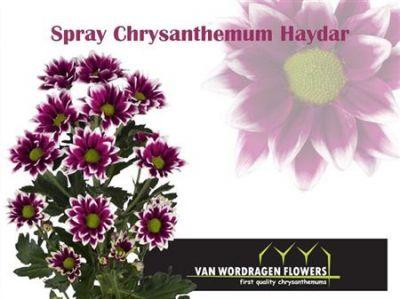 Хризантема Хай Дарк (темнофілетова з білим ободком ромашка) 00030