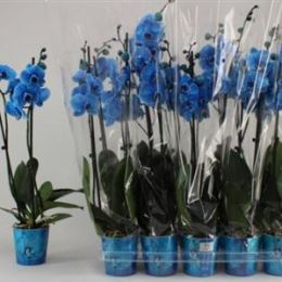 Орхідея Синя (2) мікс 80 см 12