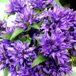 Кампанула фіолетова