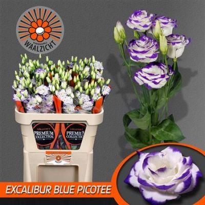 Аустома біло-синя