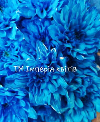 Хризантема Балтика Синя