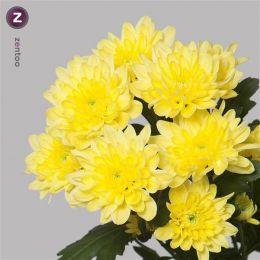 Хризантема Балтика жовта 00028