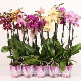49 Орхідея Фалінопсіс (2) мікс 80 см 12