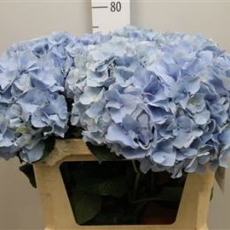 Гортензія синя 80 см