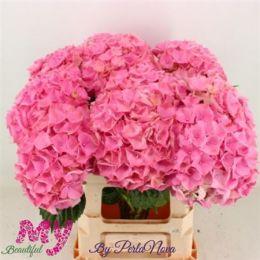 Гортензія рожева 80 см