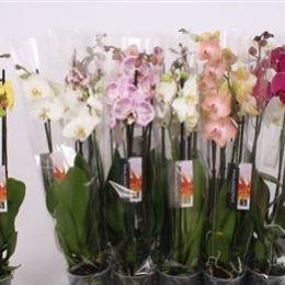 50 Орхідея Фаленопсіс (3) 12