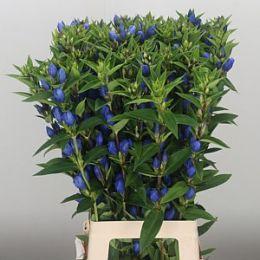 Додаток синій Гентіана 80 см